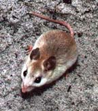 [picture of real mouse]